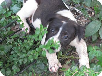 Boston Terrier/Feist Mix Puppy for adoption in Bedminster, New Jersey - Dodger