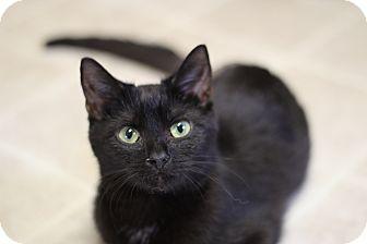 Domestic Shorthair Kitten for adoption in Marietta, Georgia - Lena - Tripod Kitten