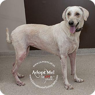 Greyhound Mix Dog for adoption in Troy, Ohio - Masey