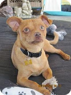 Chihuahua Mix Dog for adoption in El Cajon, California - Timmy