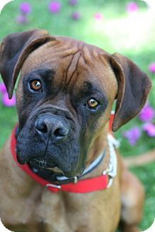 Boxer/Rhodesian Ridgeback Mix Dog for adoption in Studio City, California - Flex