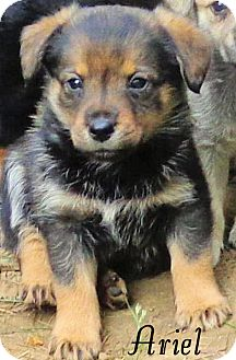 Shepherd (Unknown Type) Mix Puppy for adoption in Hartford, Kentucky - Ariel