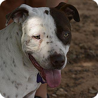 Pit Bull Terrier/Pointer Mix Dog for adoption in Stillwater, Oklahoma - Dillon
