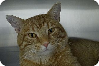 Domestic Shorthair Cat for adoption in Elyria, Ohio - Chachi