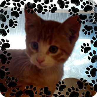 Domestic Shorthair Kitten for adoption in Pueblo West, Colorado - Sydnee
