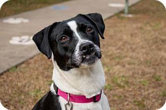 Labrador Retriever Mix Dog for adoption in Columbus, Georgia - Daisy 4B61