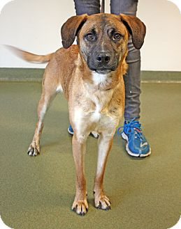 Shepherd (Unknown Type) Mix Dog for adoption in Harrisonburg, Virginia - Ryker