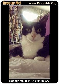 Domestic Shorthair Cat for adoption in Waldorf, Maryland - Cookie