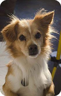 Pomeranian Mix Dog for adoption in Lisbon, Iowa - Sparky