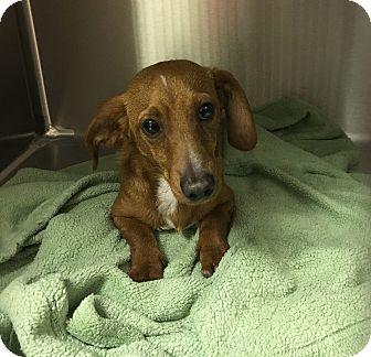 Dachshund Dog for adoption in Clarksville, Tennessee - Cooper
