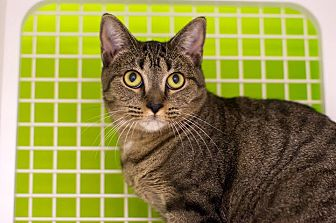 Domestic Shorthair Cat for adoption in Troy, Michigan - Chrissy