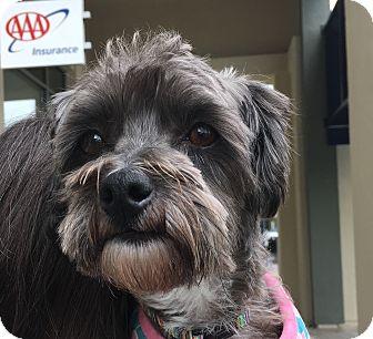 Schnauzer (Miniature)/Poodle (Miniature) Mix Dog for adoption in Pleasanton, California - Joanne