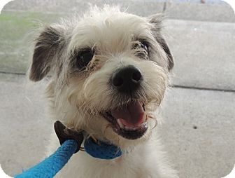 Miniature Poodle/Terrier (Unknown Type, Small) Mix Dog for adoption in Spring Valley, New York - Vetta