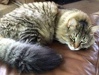 Siberian Cat for adoption in Davis, California - Rocky