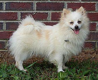 Pomeranian Dog for adoption in Twinsburg, Ohio - Precious Pea (7 lb) PERFECT