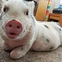 Adopt A Pet :: Rara - Las Vegas, NV