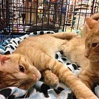 Adopt A Pet :: Stewart and Stevie - Twins! - Jenkintown, PA