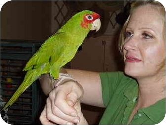 Conure for adoption in Fountain Valley, California - Betty