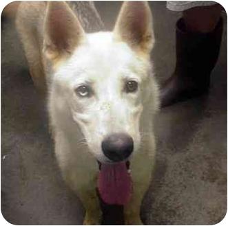 Husky/German Shepherd Dog Mix Dog for adoption in Manassas, Virginia - Amadeus