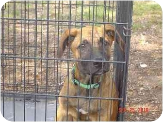 Shepherd (Unknown Type)/Black Mouth Cur Mix Dog for adoption in Fairfield, Texas - Jethro