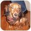 Photo 3 - Dachshund Dog for adoption in Chicago, Illinois - Schatzie