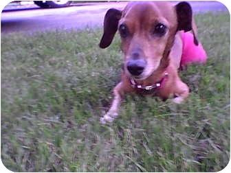 Dachshund Dog for adoption in Rosemount, Minnesota - Barney