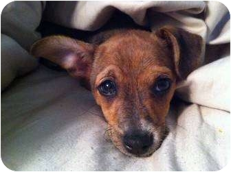 Jack Russell Terrier Mix Puppy for adoption in Dallas/Ft. Worth, Texas - Bennett in Dallas