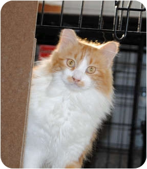 Maine Coon Cat for adoption in Palmdale, California - Jasper
