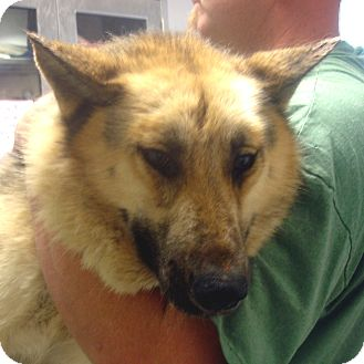 German Shepherd Dog Dog for adoption in Manassas, Virginia - Chocolate