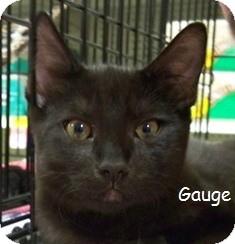 Domestic Shorthair Cat for adoption in Sacramento, California - Gauge V