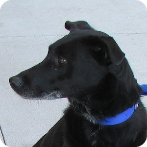 Labrador Retriever Mix Dog for adoption in Gilbert, Arizona - Harmony
