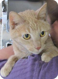 Domestic Shorthair Cat for adoption in Manitowoc, Wisconsin - Milk Dud