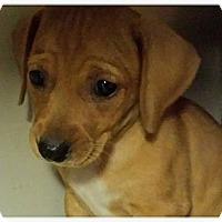 Adopt A Pet :: Blondie - Silsbee, TX