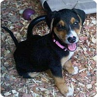 Adopt A Pet :: Sweetie Pie - Plainfield, CT