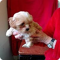 Adopt A Pet :: Trinket - Seattle, WA