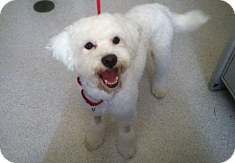 Poodle (Miniature) Mix Dog for adoption in Mission Viejo, California - Arnie