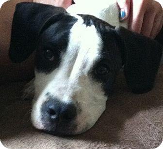 Boxer/Labrador Retriever Mix Puppy for adoption in CHAMPAIGN, Illinois - LOUIE