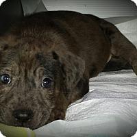 Adopt A Pet :: Baby Girl Lady - Marlton, NJ