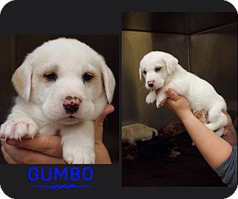 Shar Pei/Labrador Retriever Mix Puppy for adoption in Garden City, Michigan - Gumbo