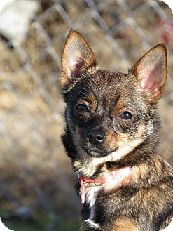 Chihuahua Mix Dog for adoption in Meridian, Idaho - Snickers