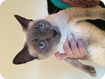 Siamese Cat for adoption in Pahrump, Nevada - Maggie Mittens