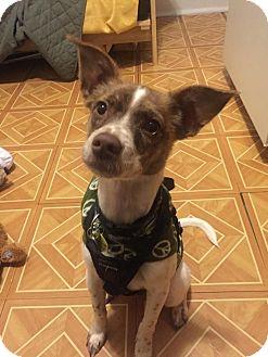 Spaniel (Unknown Type)/Australian Shepherd Mix Puppy for adoption in Astoria, New York - Cass