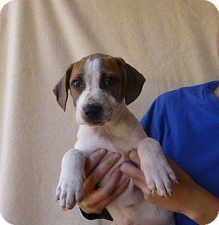 Basset Hound/Beagle Mix Puppy for adoption in Oviedo, Florida - Danny