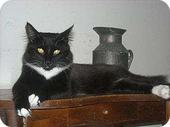 Norwegian Forest Cat Cat for adoption in Arlington, Virginia - Ace- Adoption Pending