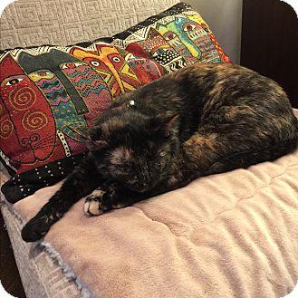 Domestic Shorthair Kitten for adoption in Birmingham, Alabama - Sheila