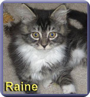 Domestic Longhair Kitten for adoption in Aldie, Virginia - Raine