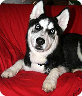 Siberian Husky Dog for adoption in Green Cove Springs, Florida - Teeko 'Great Sprit'