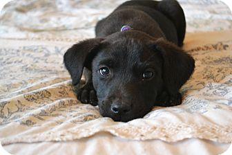 Labrador Retriever/Schnauzer (Standard) Mix Puppy for adoption in Bedminster, New Jersey - Paris