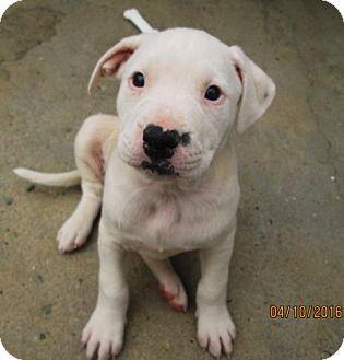 American Bulldog/English Setter Mix Puppy for adoption in Williston Park, New York - Jillian