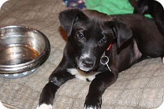 Labrador Retriever Mix Puppy for adoption in Franklinville, New Jersey - Brooke